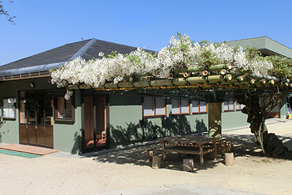 白い昇藤の藤棚は憩いの場所